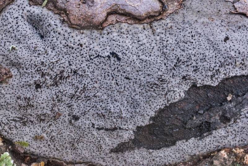 "Black dots of a fungus <B>Biscogniauxia atropunctata</B> (Hypoxylon atropunctatum) on a fallen oak on Caney Creek section of Lone Star Hiking Trail in Sam Houston National Forest north from Montgomery. Texas, <A HREF=""../date-en/2019-10-26.htm"">October 26, 2019</A>"