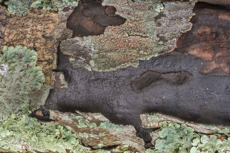 "Crust fungus <B>Biscogniauxia mediterranea</B> erupting through bark of a fallen oak branch on Caney Creek section of Lone Star Hiking Trail in Sam Houston National Forest north from Monrgomery. Texas, <A HREF=""../date-en/2019-10-26.htm"">October 26, 2019</A>"