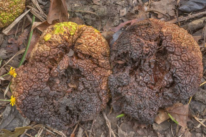 "Rotting fruits of osage orange (hedge apple, Maclura pomifera) with yeast fungus <B>Cyberlindnera maclurae</B> on Caney Creek Trail (Little Lake Creek Loop Trail) in Sam Houston National Forest north from Montgomery. Texas, <A HREF=""../date-en/2019-10-26.htm"">October 26, 2019</A>"
