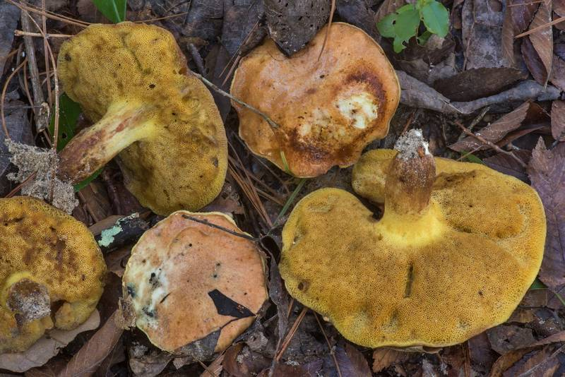 "Slippery Jack mushrooms <B>Suillus brevipes</B> on a terrace over the creek on Winters Bayou Trail in Sam Houston National Forest. Cleveland, Texas, <A HREF=""../date-en/2019-10-27.htm"">October 27, 2019</A>"