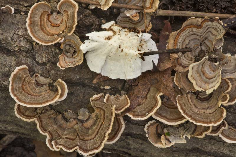"Turkeytail mushrooms (<B>Trametes versicolor</B>) on a fallen tree on Winters Bayou Trail in Sam Houston National Forest. Cleveland, Texas, <A HREF=""../date-en/2019-10-27.htm"">October 27, 2019</A>"