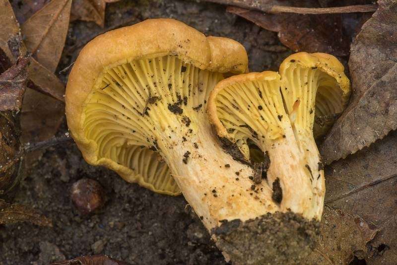 "Chanterelle mushrooms (<B>Cantharellus cibarius</B>) on Winters Bayou Trail in Sam Houston National Forest. Cleveland, Texas, <A HREF=""../date-en/2019-10-27.htm"">October 27, 2019</A>"