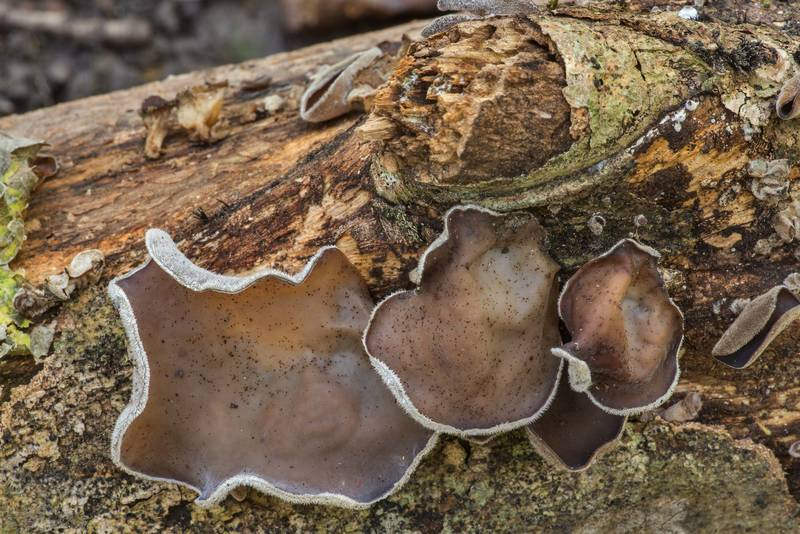 "Cloud ear jelly mushrooms (<B>Auricularia nigricans</B>, Auricularia polytricha) on a fallen tree on Winters Bayou Trail in Sam Houston National Forest. Cleveland, Texas, <A HREF=""../date-en/2019-10-27.htm"">October 27, 2019</A>"