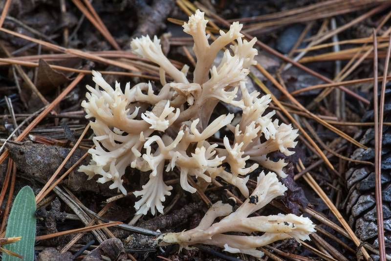 "Grey coral mushrooms (<B>Clavulina cinerea</B>) on Little Lake Creek Loop Trail in Sam Houston National Forest. Richards, Texas, <A HREF=""../date-en/2019-11-01.htm"">November 1, 2019</A>"