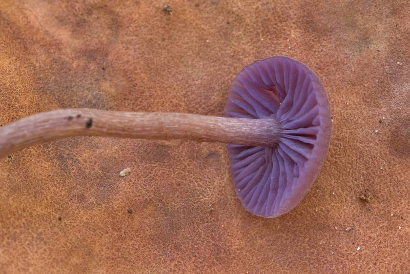 "Amethyst deceiver mushroom (<B>Laccaria amethystina</B>) at Big Creek Scenic Area of Sam Houston National Forest. Shepherd, Texas, <A HREF=""../date-en/2019-11-02.htm"">November 2, 2019</A>"