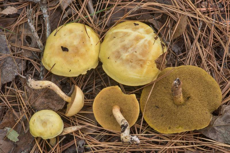 "Bolete mushrooms <B>Suillus hirtellus</B> on Sand Branch Loop Trail in Sam Houston National Forest near Richards. Texas, <A HREF=""../date-en/2019-11-03.htm"">November 3, 2019</A>"
