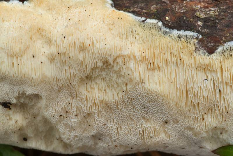Pore surface of a resupinate polypore mushroom on a fallen pine branch on Caney Creek section of Lone Star Hiking Trail in Sam Houston National Forest north from Monrgomery. Texas, November 8, 2019