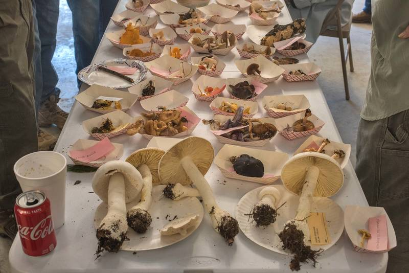 Collected and labelled mushrooms after GSMS mushroom walk on a property at 5369 Farm to Market Road 770 near Kountze. Texas, November 9, 2019
