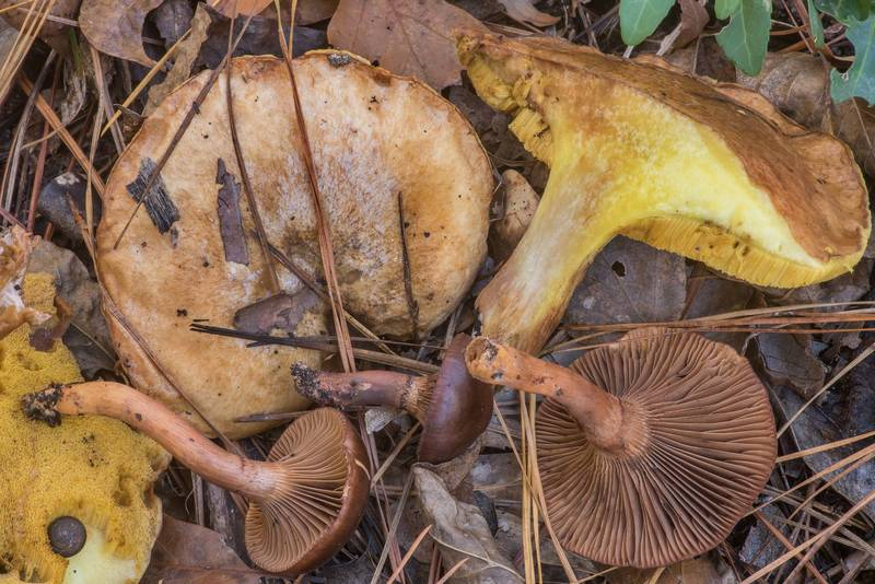 "Dissected slippery jack mushrooms <B>Suillus brevipes</B> together with pine spike mushrooms (Chroogomphus vinicolor, Gomphidius vinicolor) in Huntsville State Park. Texas, <A HREF=""../date-en/2019-11-15.htm"">November 15, 2019</A>"