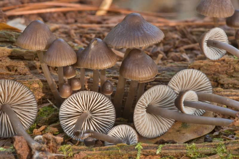 "Cluster of stump fairy helmet mushrooms (<B>Mycena alcalina</B>)(?) on a rotting pine log on Caney Creek section of Lone Star Hiking Trail in Sam Houston National Forest north from Montgomery. Texas, <A HREF=""../date-en/2019-11-16.htm"">November 16, 2019</A>"