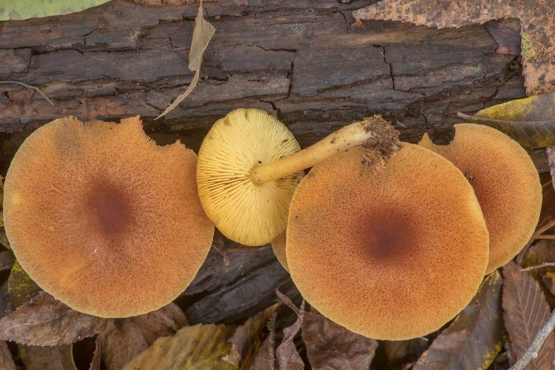 "Decorated mop mushrooms (<B>Tricholomopsis decora</B>) on rotting pine wood on Caney Creek Trail (Little Lake Creek Loop Trail) in Sam Houston National Forest north from Montgomery. Texas, <A HREF=""../date-en/2019-11-16.htm"">November 16, 2019</A>"