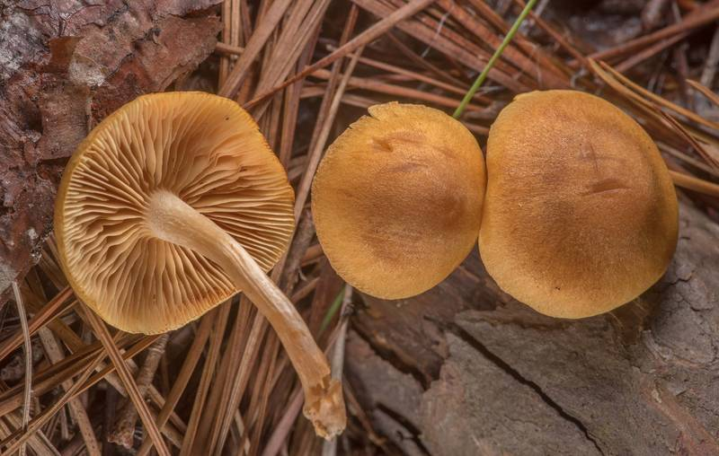 "Rustgill mushrooms <B>Gymnopilus penetrans</B> on Caney Creek section of Lone Star Hiking Trail in Sam Houston National Forest north from Montgomery. Texas, <A HREF=""../date-en/2019-11-16.htm"">November 16, 2019</A>"