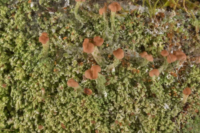 "Turbin lichen (<B>Cladonia peziziformis</B>) in shade on exposed soil at Lake Somerville Trailway near Birch Creek Unit of Somerville Lake State Park. Texas, <A HREF=""../date-en/2019-11-17.htm"">November 17, 2019</A>"