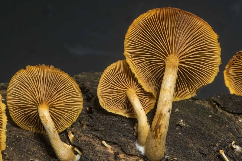 "Gills of mushrooms <B>Gymnopilus fulvosquamulosus</B> on rotting oak wood taken from Lake Somerville Trailway near Birch Creek Unit of Somerville Lake State Park. Texas, <A HREF=""../date-en/2019-11-17.htm"">November 17, 2019</A>"