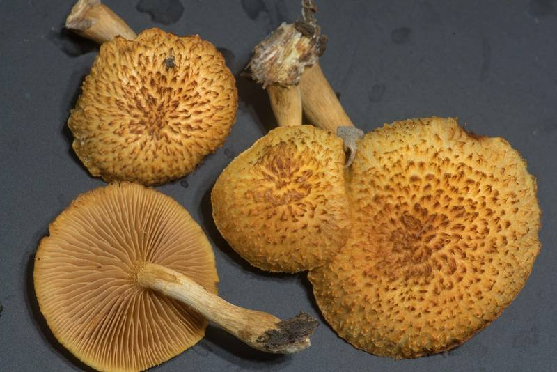 "Scaly caps of mushrooms <B>Gymnopilus fulvosquamulosus</B> on rotting oak wood taken from Lake Somerville Trailway near Birch Creek Unit of Somerville Lake State Park. Texas, <A HREF=""../date-en/2019-11-17.htm"">November 17, 2019</A>"