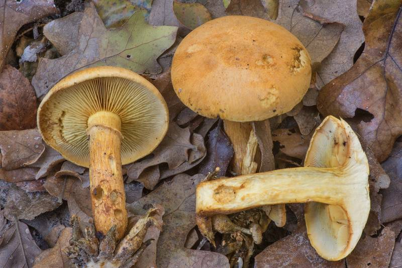 "Laughing gym mushrooms (spectacular rustgill, Gymnopilus spectabilis, <B>Gymnopilus junonius</B>) in Hensel Park. College Station, Texas, <A HREF=""../date-en/2019-11-19.htm"">November 19, 2019</A>"