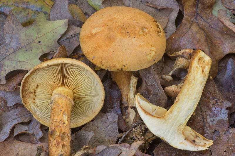 "Laughing gym mushrooms (Gymnopilus spectabilis, <B>Gymnopilus junonius</B>) with a cross section in Hensel Park. College Station, Texas, <A HREF=""../date-en/2019-11-19.htm"">November 19, 2019</A>"