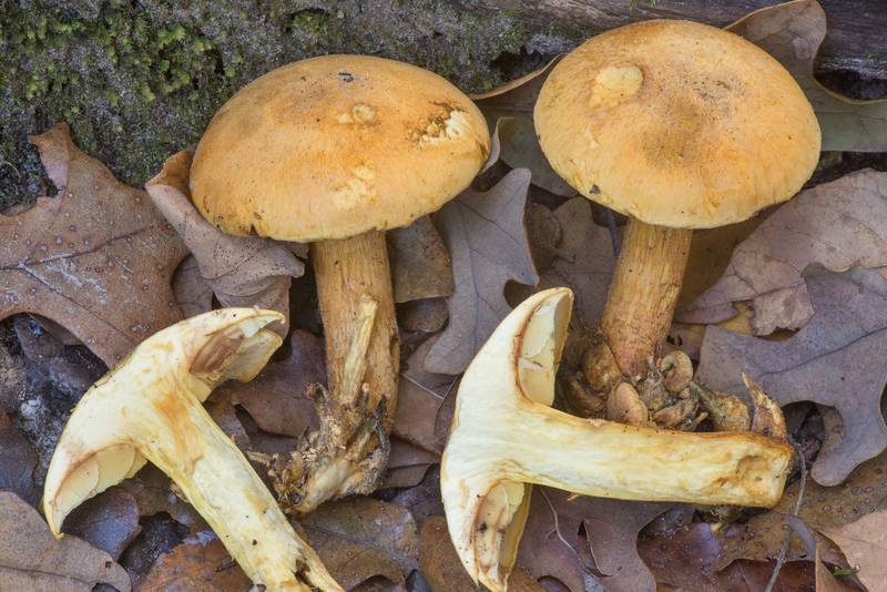 "Spectacular rustgill mushrooms (Gymnopilus spectabilis, <B>Gymnopilus junonius</B>) among oak leaves on a trail in Hensel Park. College Station, Texas, <A HREF=""../date-en/2019-11-19.htm"">November 19, 2019</A>"