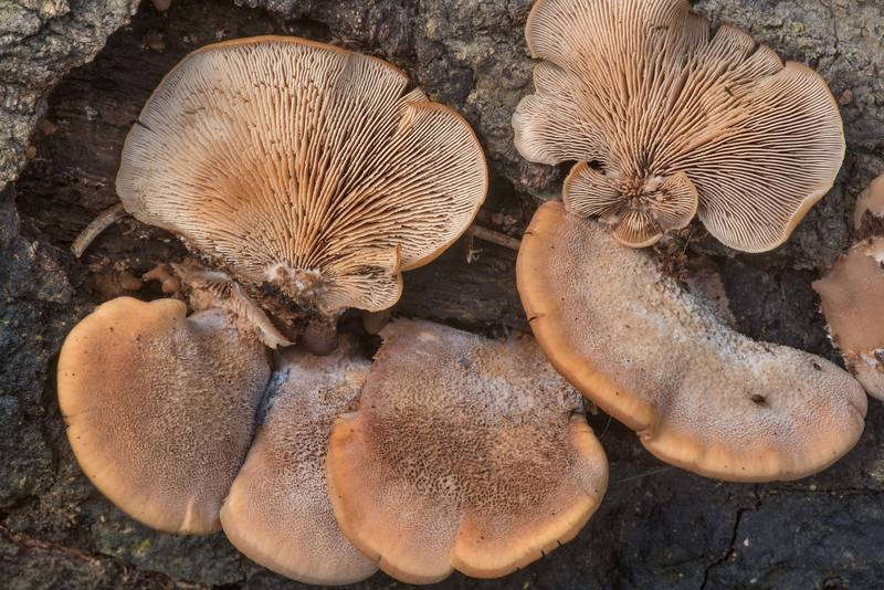 "Bear cockleshell mushrooms (<B>Lentinellus ursinus</B>) in Lick Creek Park. College Station, Texas, <A HREF=""../date-en/2019-11-20.htm"">November 20, 2019</A>"