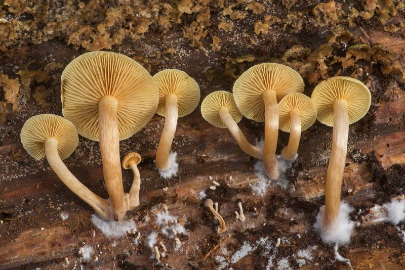 Common rustgill mushrooms (Gymnopilus penetrans) under a pine log in Watson Rare Native Plant Preserve. Warren, Texas, November 23, 2019