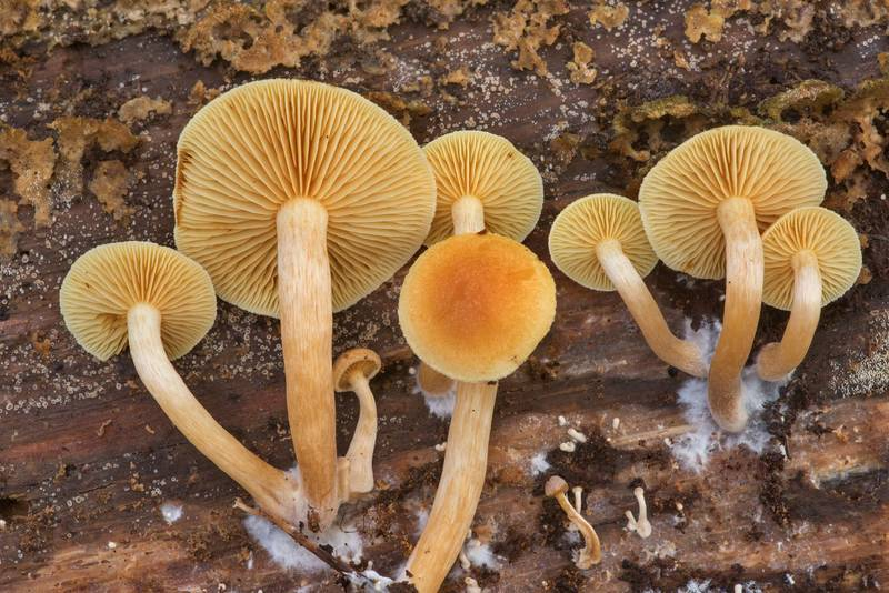 "Orange gills of common rustgill mushrooms (<B>Gymnopilus penetrans</B>) under a pine log in Watson Rare Native Plant Preserve. Warren, Texas, <A HREF=""../date-en/2019-11-23.htm"">November 23, 2019</A>"