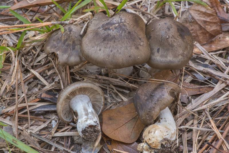 Domecap mushrooms Lyophyllum fumosum (Lyophyllum decastes species group) on the middle of a mowed grassy path on Pitcher Plant Trail in Big Thicket National Preserve. Warren, Texas, November 23, 2019