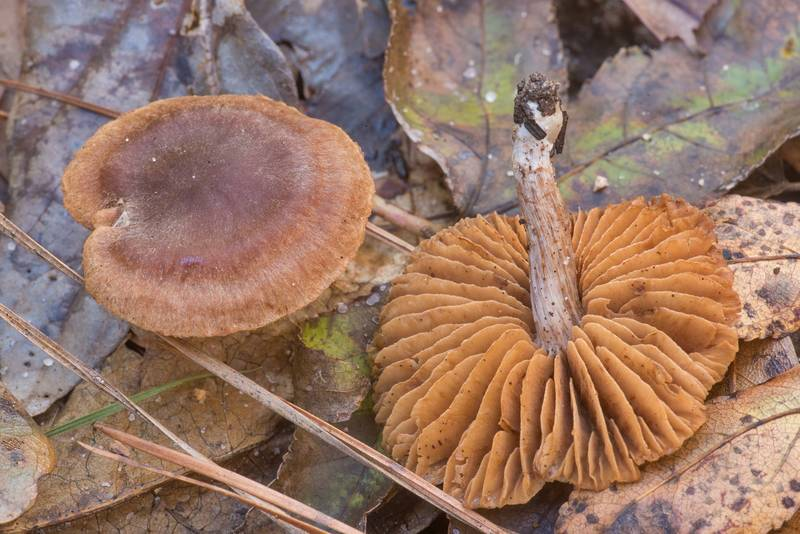 Small brown webcap (Cortinarius) mushrooms in a low lying area on Winters Bayou Trail in Sam Houston National Forest. Cleveland, Texas, November 24, 2019