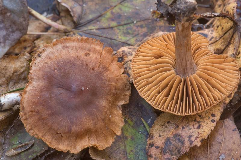 Some brown webcap (Cortinarius) mushrooms in a wet area on Winters Bayou Trail in Sam Houston National Forest. Cleveland, Texas, November 24, 2019