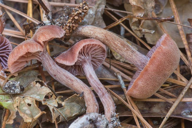 "Deceiver mushrooms <B>Laccaria trichodermophora</B> on Winters Bayou Trail in Sam Houston National Forest. Cleveland, Texas, <A HREF=""../date-en/2019-11-24.htm"">November 24, 2019</A>"