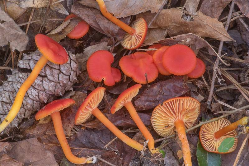 Scarlet waxcap mushrooms (Hygrocybe coccinea) under pines and oaks on Winters Bayou Trail in Sam Houston National Forest. Cleveland, Texas, November 24, 2019