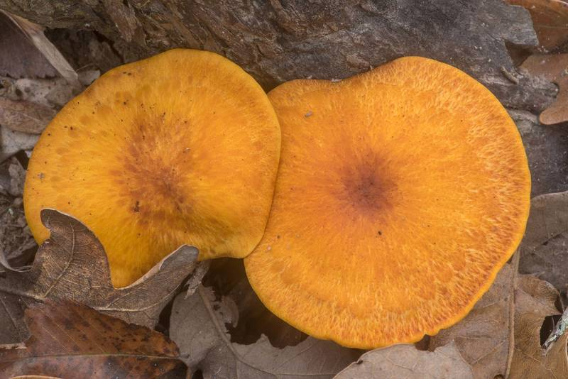 Orange caps of southern Jack O'Lantern mushrooms (Omphalotus subilludens) on Yaupon Loop Trail in Lick Creek Park. College Station, Texas, November 30, 2019