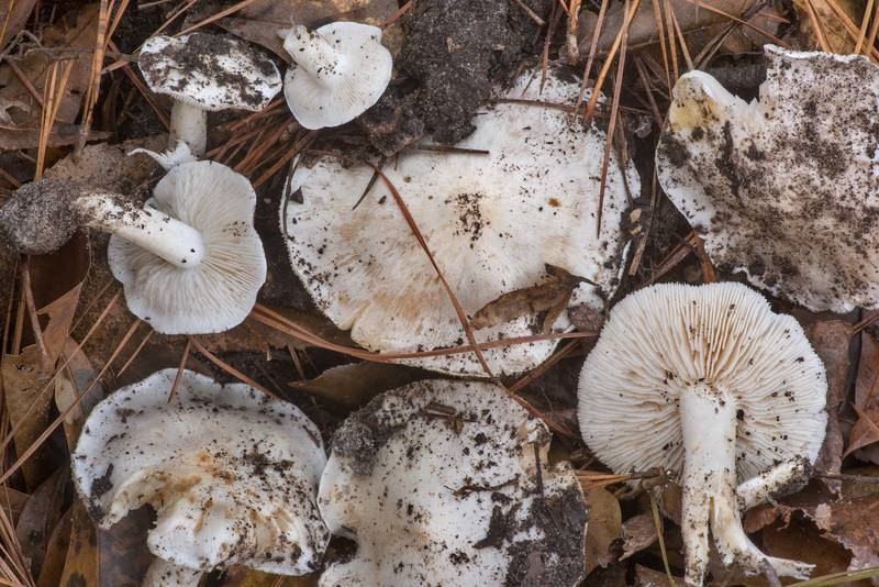 White caps of mushrooms Tricholoma subresplendens in mounds left by hogs on a wet slope on Caney Creek section of Lone Star Hiking Trail in Sam Houston National Forest north from Montgomery. Texas, December 1, 2019