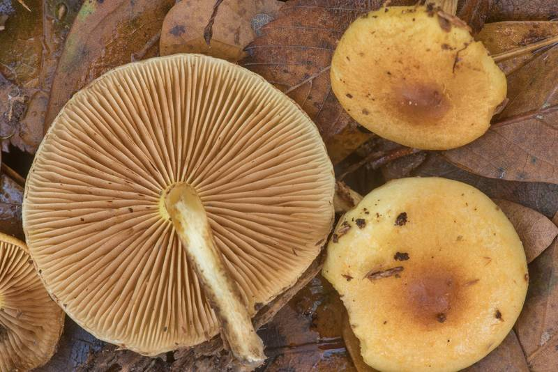 Gills of scalycap mushrooms Pholiota spumosa on Caney Creek Trail (Little Lake Creek Loop Trail) in Sam Houston National Forest north from Montgomery. Texas, December 1, 2019