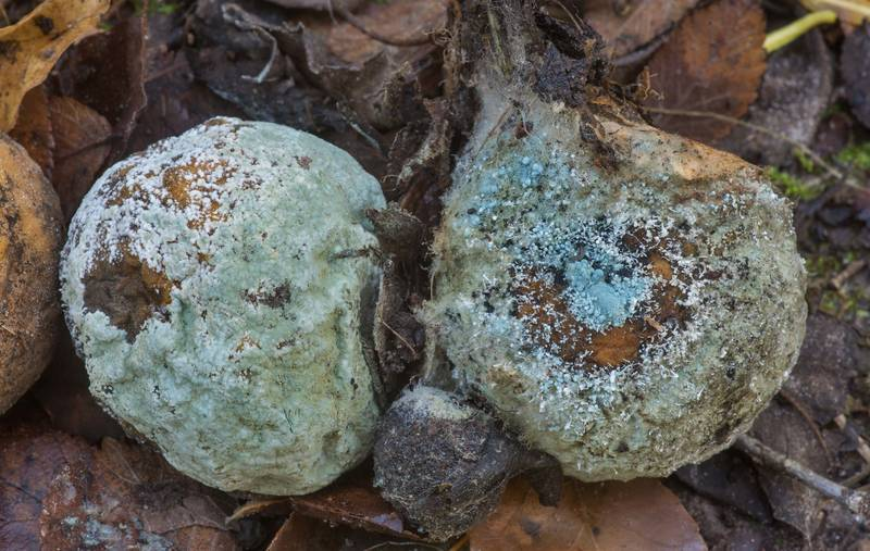 Green mould caused by fungus Penicillium digitatum on fallen fruits of trifoliate orange on Caney Creek Trail (Little Lake Creek Loop Trail) in Sam Houston National Forest north from Montgomery. Texas, December 1, 2019