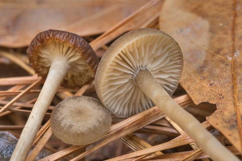 "Lined meadowcap mushrooms (<B>Gamundia striatula</B>)(?) (with white spore print) in a pine forest on Winters Bayou Trail in Sam Houston National Forest. Cleveland, Texas, <A HREF=""../date-en/2019-12-07.htm"">December 7, 2019</A>"