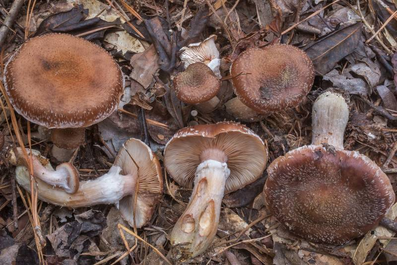 Bulbous honey mushrooms (Armillaria gallica) on Winters Bayou Trail in Sam Houston National Forest. Cleveland, Texas, December 7, 2019