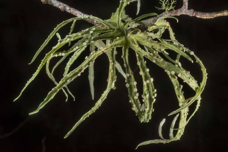 "Octopus-like palmetto lichen (<B>Ramalina celastri</B>) in Washington-on-the-Brazos State Historic Site. Washington, Texas, <A HREF=""../date-en/2019-12-08.htm"">December 8, 2019</A>"