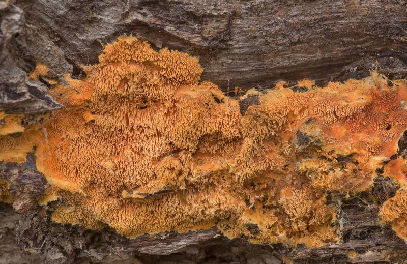 Orange tooth fungus Hydnophlebia chrysorhiza (Phanerochaete chrysorhiza) on an oak log in Lick Creek Park. College Station, Texas, December 13, 2019