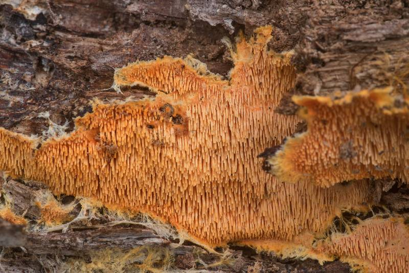 Close up of orange tooth fungus Hydnophlebia chrysorhiza (Phanerochaete chrysorhiza) on an oak log in Lick Creek Park. College Station, Texas, December 13, 2019