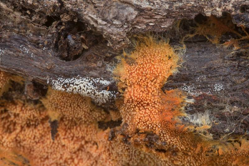 Details of orange tooth fungus Hydnophlebia chrysorhiza (Phanerochaete chrysorhiza) on an oak log in Lick Creek Park. College Station, Texas, December 13, 2019