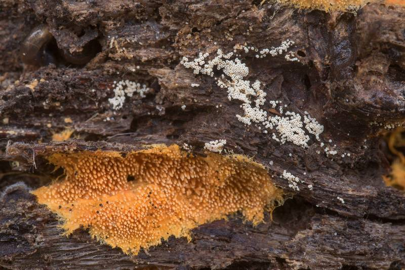 Orange tooth fungus Hydnophlebia chrysorhiza (Phanerochaete chrysorhiza) and cyphelloid fungus Henningsomyces in Lick Creek Park. College Station, Texas, December 13, 2019