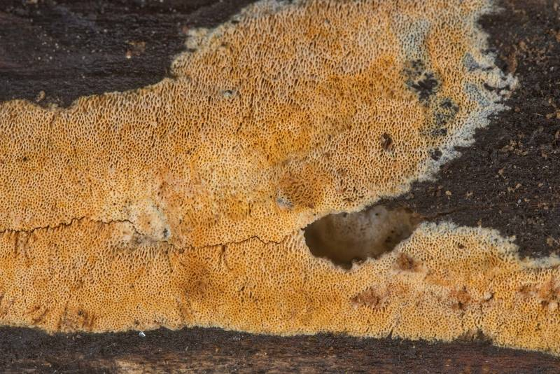 Resupinate polypore mushroom Schizopora(?) on underside of a log in Lick Creek Park. College Station, Texas, December 13, 2019
