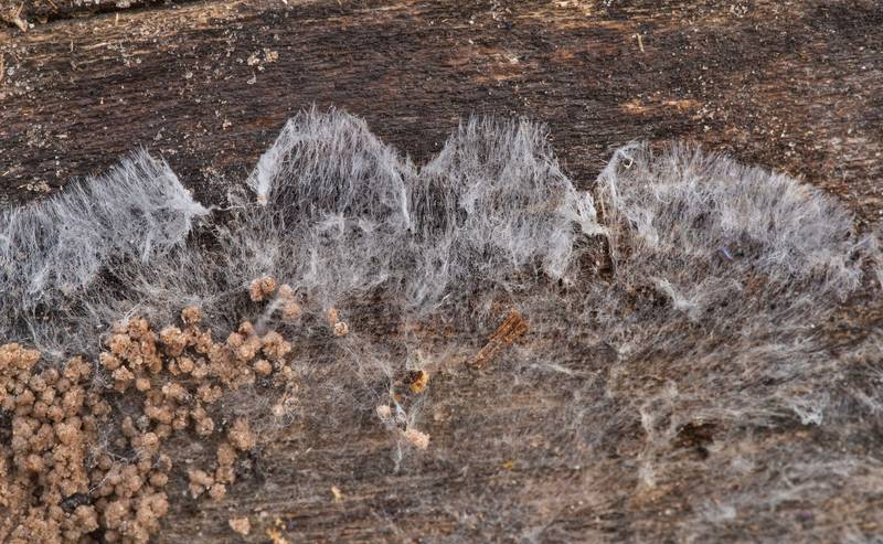 Web-like mycelium of a fungus under an oak log in Lick Creek Park. College Station, Texas, December 13, 2019