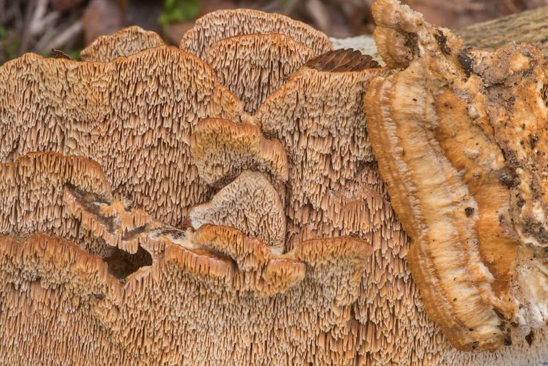 "Caps of polypore mushroom <B>Trametopsis cervina</B> on a cut stem of Yaupon holly in Lick Creek Park. College Station, Texas, <A HREF=""../date-en/2019-12-13.htm"">December 13, 2019</A>"