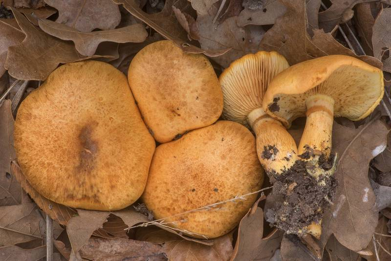 "Spectacular rustgill mushrooms (Gymnopilus spectabilis, <B>Gymnopilus junonius</B>) under small oaks in Lick Creek Park. College Station, Texas, <A HREF=""../date-en/2019-12-13.htm"">December 13, 2019</A>"