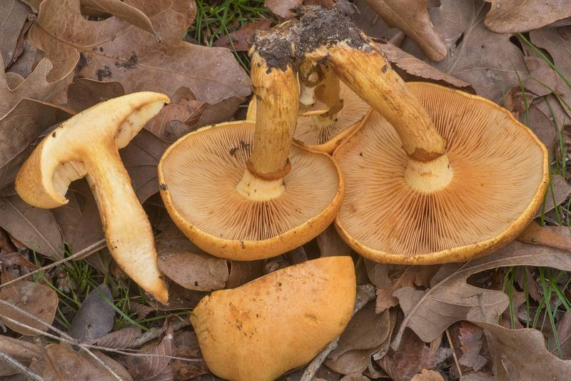 "Dissected spectacular rustgill mushrooms (Gymnopilus spectabilis, <B>Gymnopilus junonius</B>) under small oaks in Lick Creek Park. College Station, Texas, <A HREF=""../date-en/2019-12-13.htm"">December 13, 2019</A>"