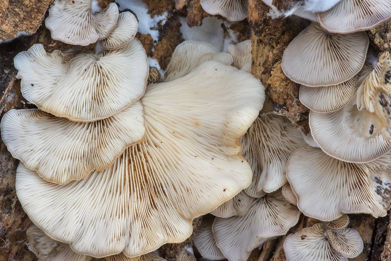 "Oysterling mushrooms <B>Crepidotus mollis</B> on a fallen oak branch on North Wilderness Trail of Little Lake Creek Wilderness in Sam Houston National Forest north from Montgomery. Texas, <A HREF=""../date-en/2019-12-14.htm"">December 14, 2019</A>"