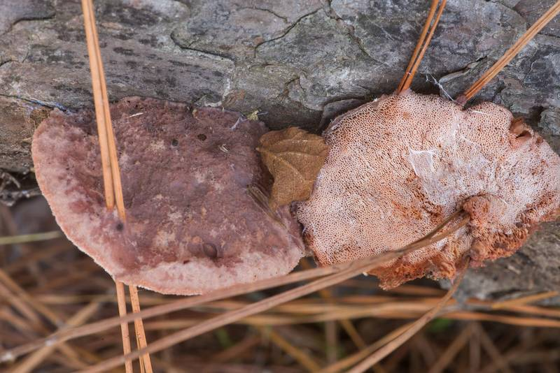 "Pink sherbet polypore mushrooms (<B>Leptoporus mollis</B>) on a fallen pine on North Wilderness Trail of Little Lake Creek Wilderness in Sam Houston National Forest north from Montgomery. Texas, <A HREF=""../date-en/2019-12-14.htm"">December 14, 2019</A>"