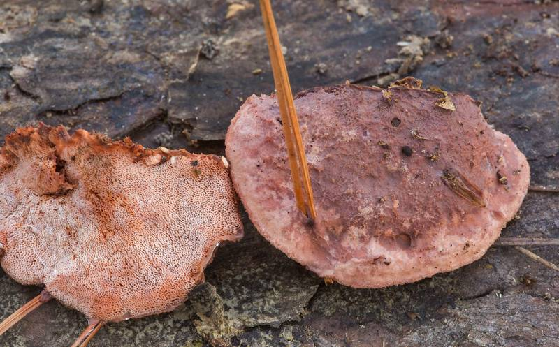 "Caps of pink sherbet polypore mushrooms (<B>Leptoporus mollis</B>) on a fallen pine on North Wilderness Trail of Little Lake Creek Wilderness in Sam Houston National Forest north from Montgomery. Texas, <A HREF=""../date-en/2019-12-14.htm"">December 14, 2019</A>"