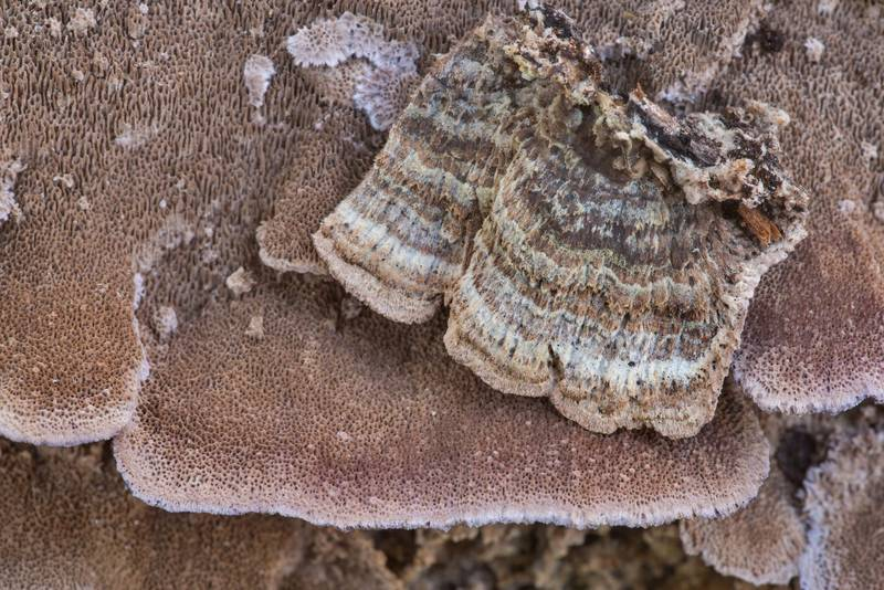 "Polypore mushrooms <B>Trichaptum sector</B> on an oak log on North Wilderness Trail of Little Lake Creek Wilderness in Sam Houston National Forest north from Montgomery. Texas, <A HREF=""../date-en/2019-12-14.htm"">December 14, 2019</A>"